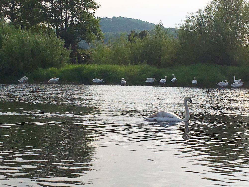 Swans on the Wye