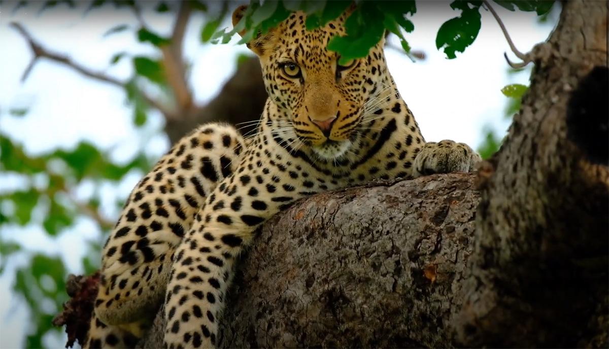 Leopard sighting at Kasabushi Camp